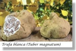 tuber-magnatum-trufa-blanca