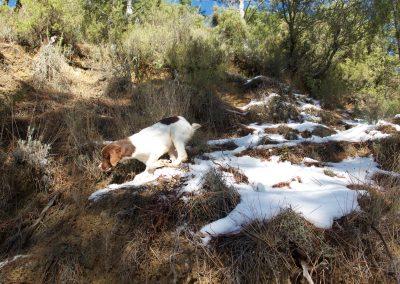 Luna desde cachorro era valiente buscadora, se metía completa entre la capa de nieve y la tierra