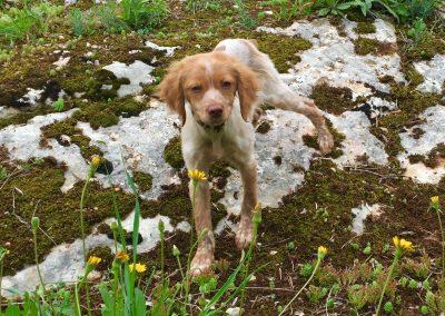 Terfezia de cachorro en una jornada de adiestramiento de búsqueda de trufas
